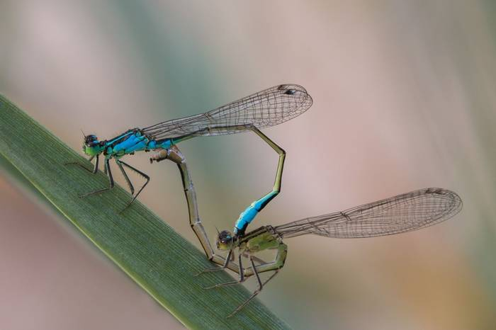Blue-Tailed Damselflies in Wheel (Ian Tulloch)