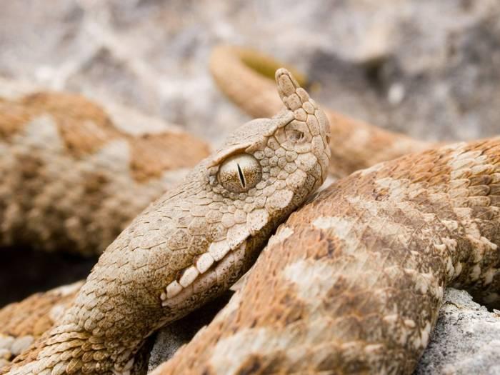 Nose-horned Viper (Vipera ammodytes), Greece_shutterstock_1360831556.jpg