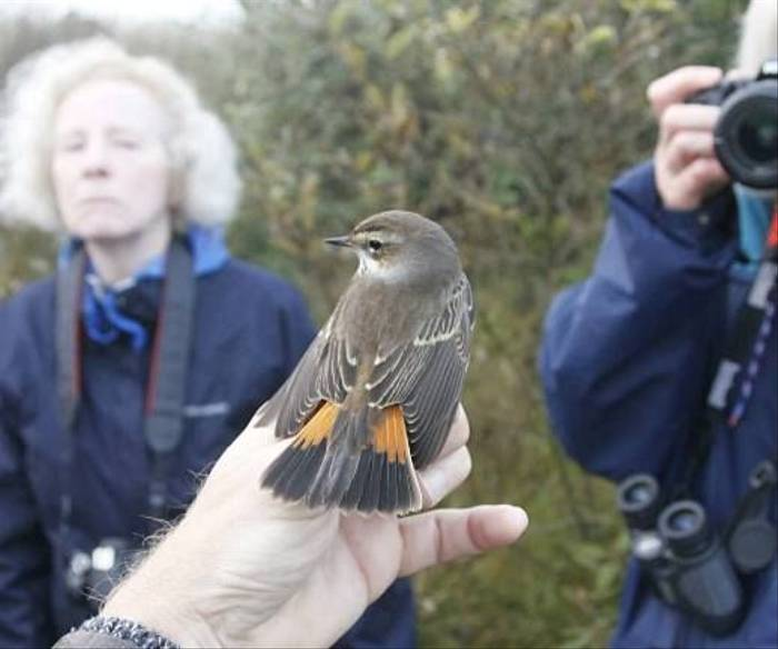 Bluethroat ready to be released after ringing (Daniel Green)