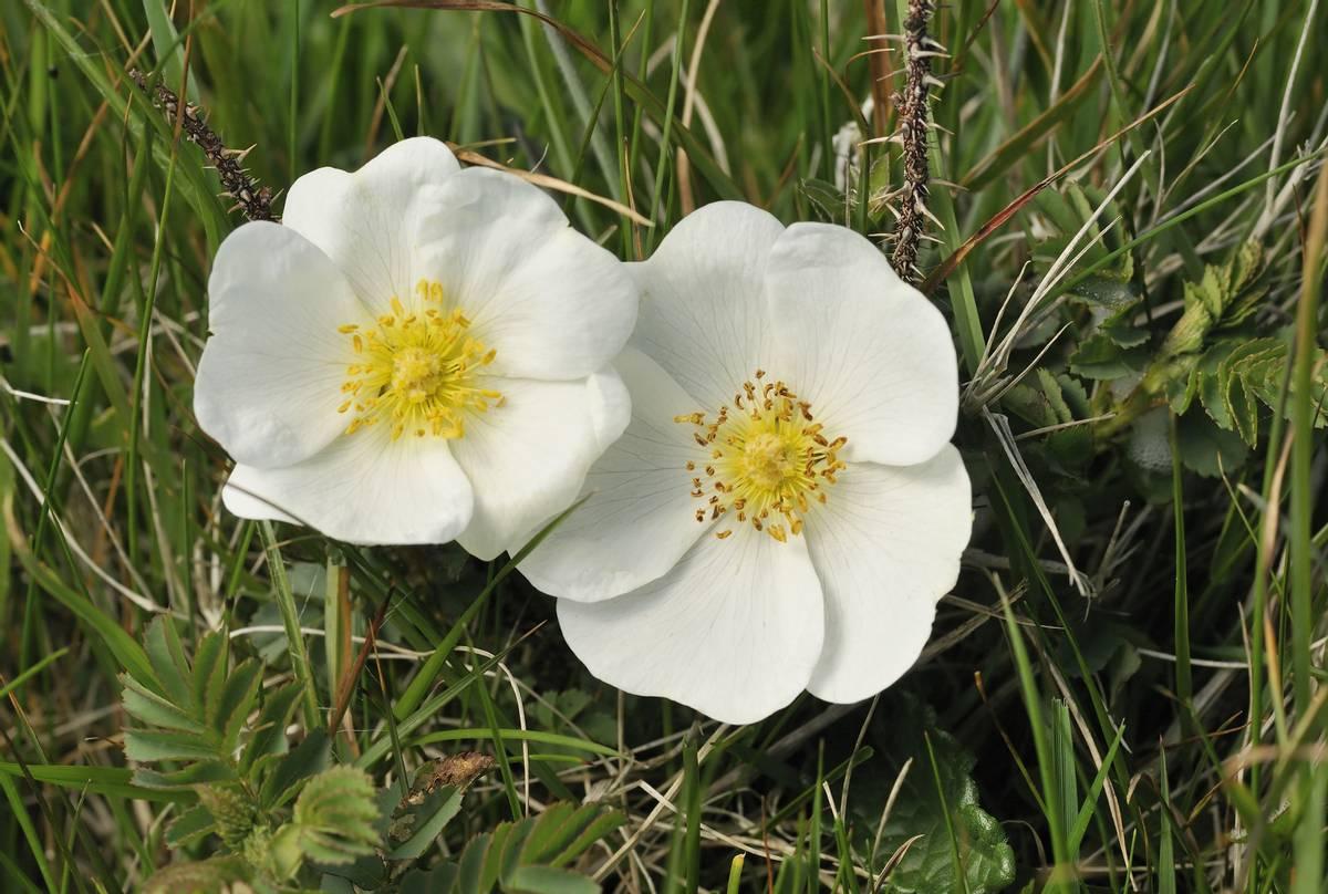 Burnet Rose shutterstock_354513293.jpg