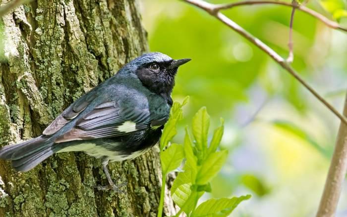 Black-throated blue warbler shutterstock_138941159.jpg