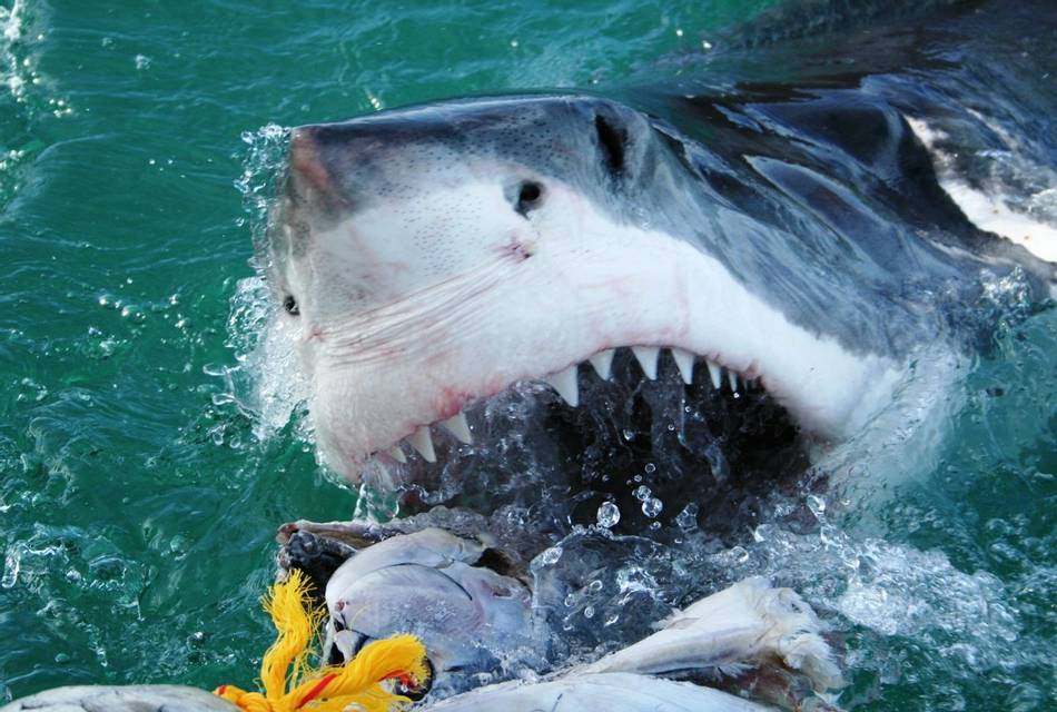 Great white sharks - Shark and Marine Wildlife Project