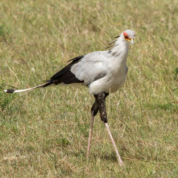 Secretary Bird (Colin Brown)
