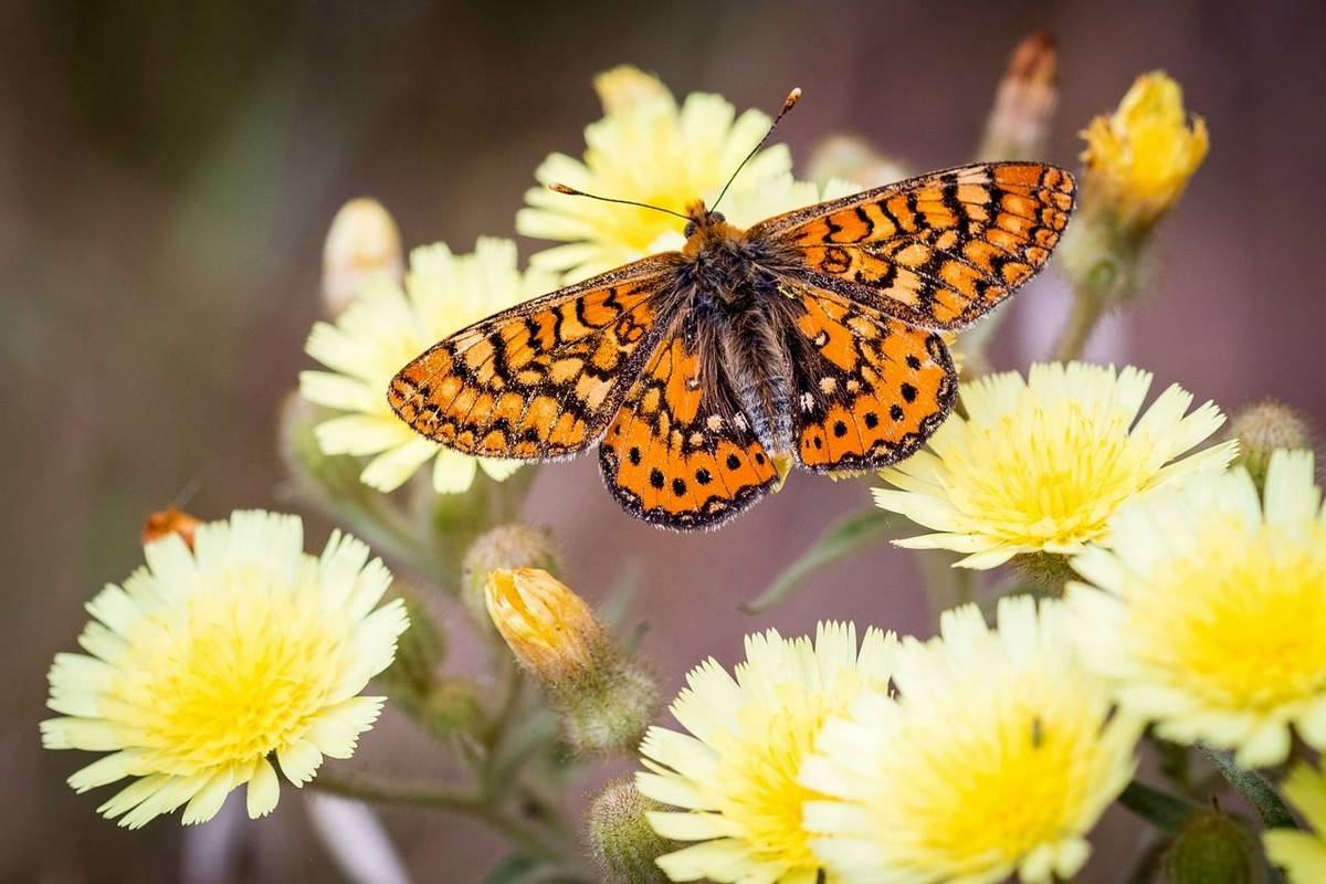 Spotted Fritillary Shutterstock 1107946931