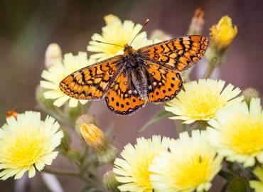 Butterflies of Hungary