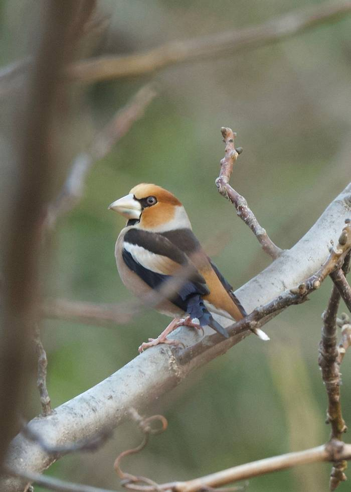 Hawfinch (Chris Piper)