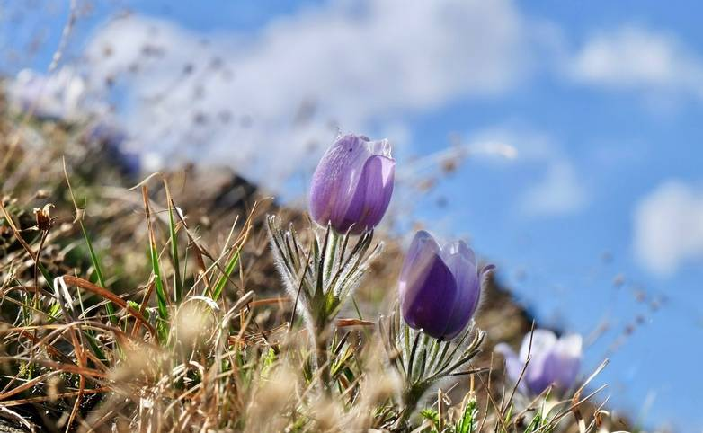 Blue Anemone. Pasque Flower or Pulsatilla.  Banff National Park. British Columbia. Canada.