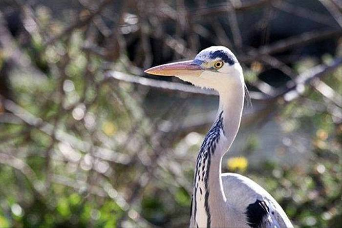 Grey Heron (Don Farlow)