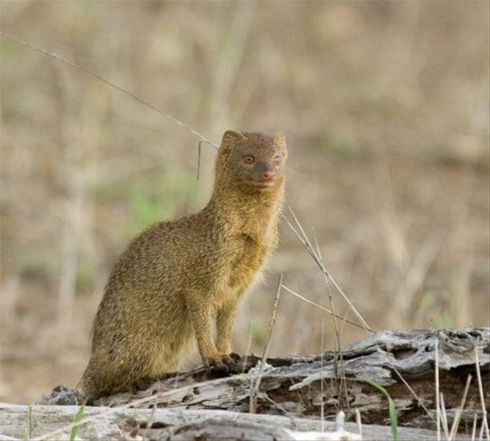 Mongoose (Leon Marais)