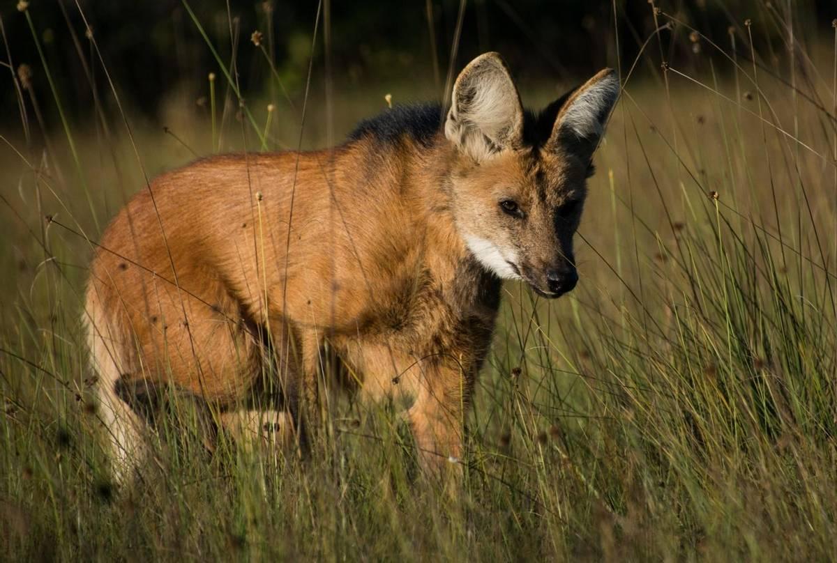 Maned Wolf (Barbara Evans)