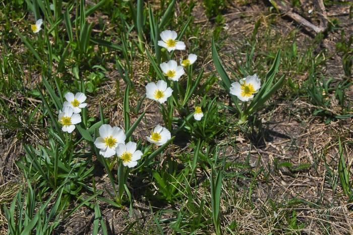 Kupfer's Buttercup (Ranunculus kuepferi)