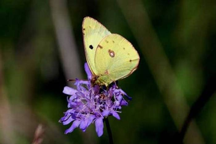 Berger's Clouded Yellow (Tom Brereton)