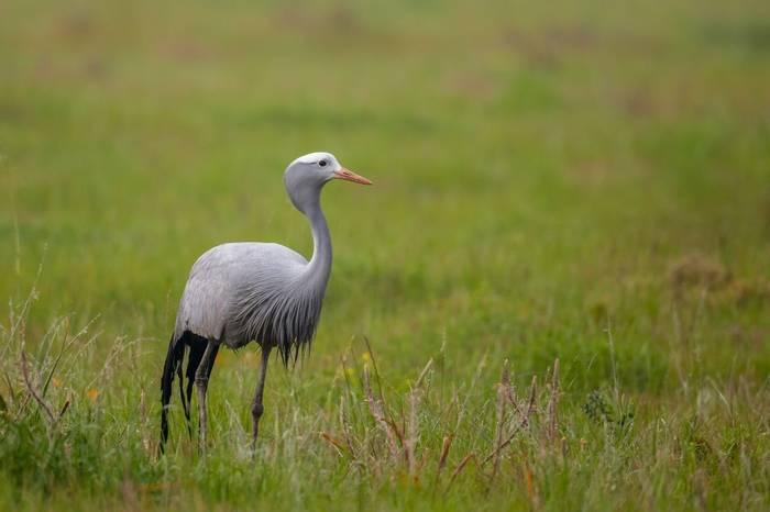 Blue Crane, South Africa Shutterstock 495495082