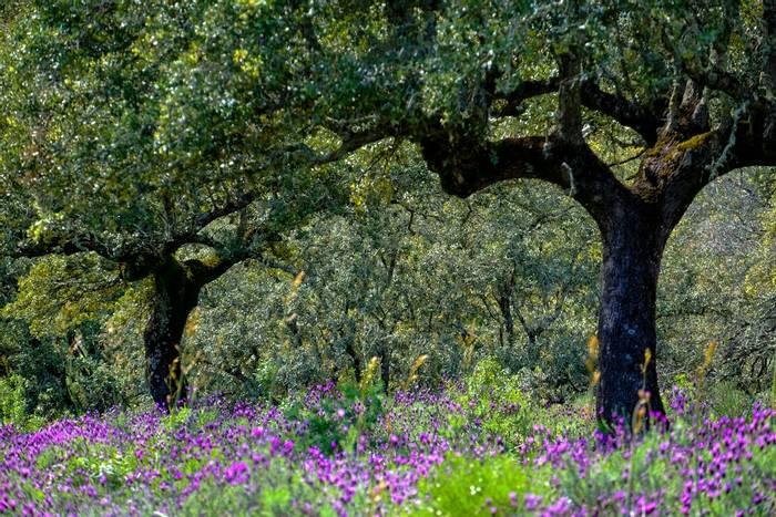 Cork Oak, Extremadura, Spain shutterstock_1086184679.jpg