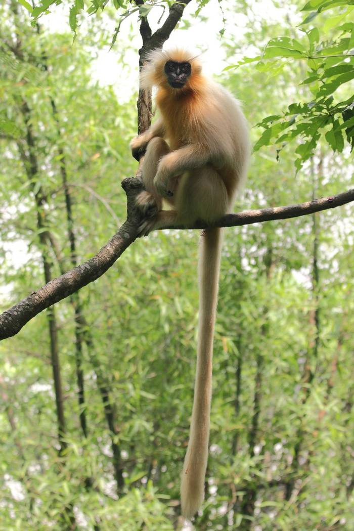 Golden Langur, India shutterstock_1332686123.jpg