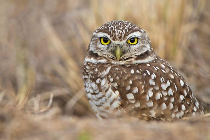 Burrowing Owl Shutterstock 114972112