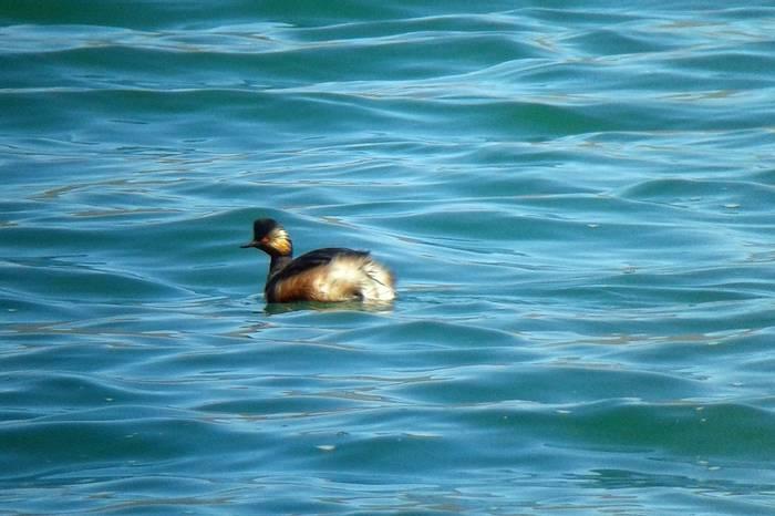 Black-necked Grebe (Tom Mabbett)