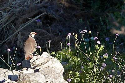 Sicilian Rock Partridge by Stuart Elsom