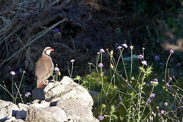 Sicilian Rock Partridge (Stuart Elsom)