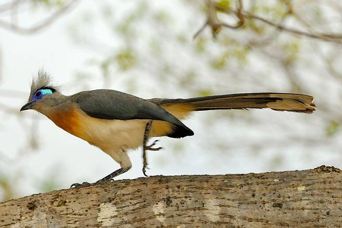 Crested Coua (Stephen Woodham)