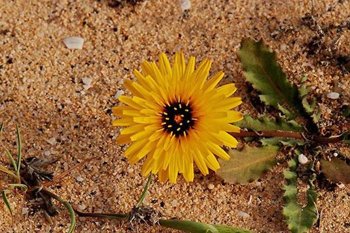 False Sow-thistle, Fuerteventura (Ken Bailey)
