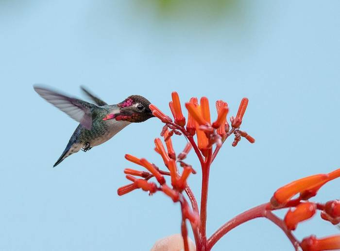 Bee Hummingbird Shutterstock 593249636