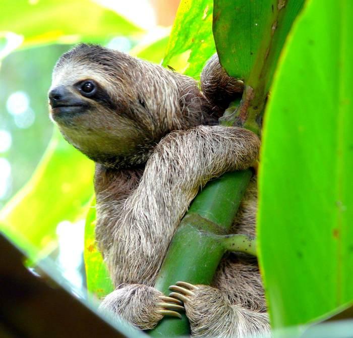 Sloth in Puerto Viejo, Costa Rica shutterstock_142460779.jpg