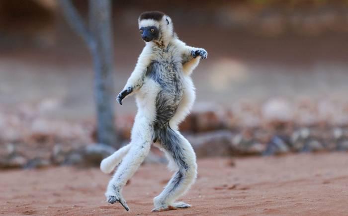 Verreaux's Sifaka, Berenty Nature Reserve, Madagascar (Hugh Lansdown) (2).jpg