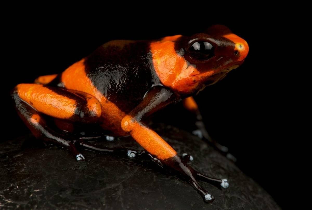 Lehmann's Poison Frog (Oophaga lehmanii)