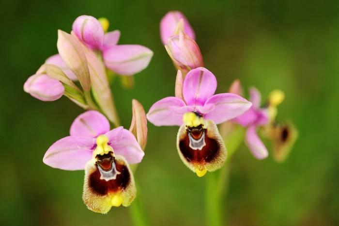 Sawfly Orchid shutterstock_1116035081.jpg