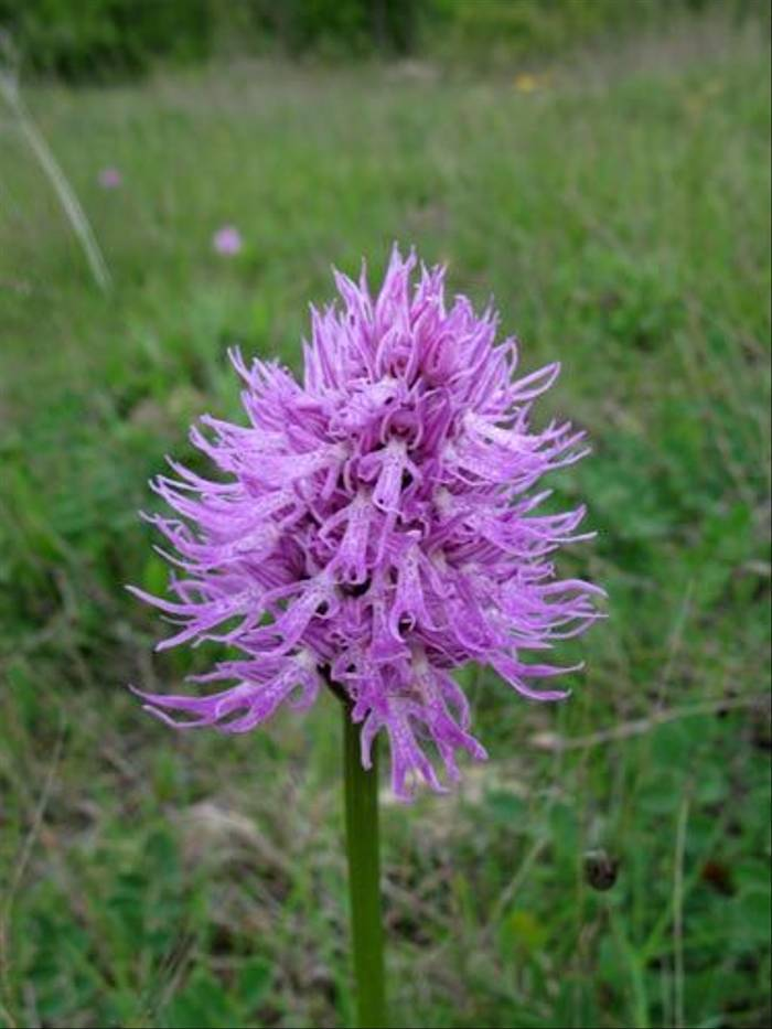 Orchis italica - Naked Man Orchid (Paul Harmes)