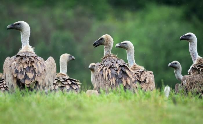 Griffon Vultures, Spain shutterstock_175125407.jpg