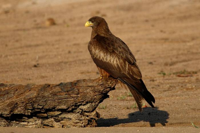 Yellow-billed Kite (Nick Scarle)