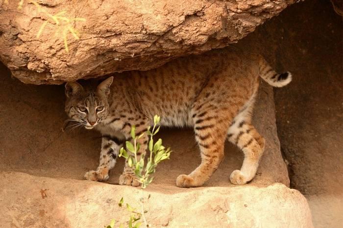 Bobcat, Arizona_shutterstock_80895325.jpg