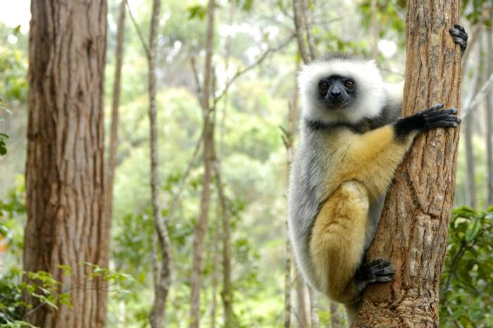 Diademed Sifaka, Madagascar.jpg