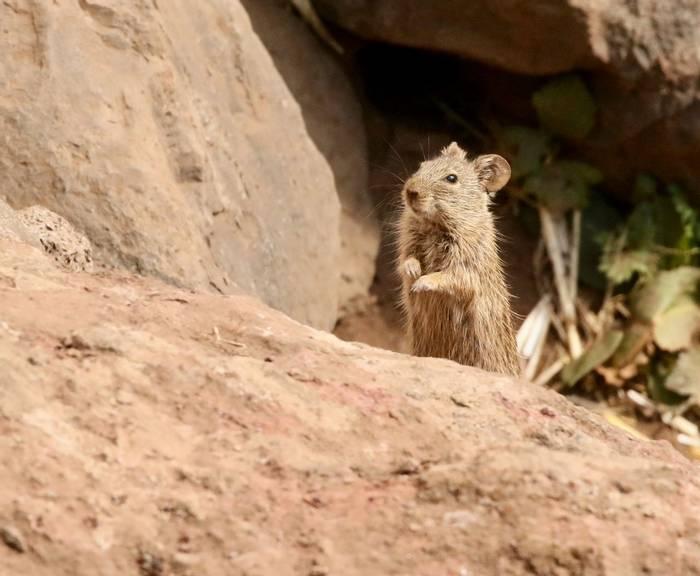 Abyssinian Grass Rat.jpeg