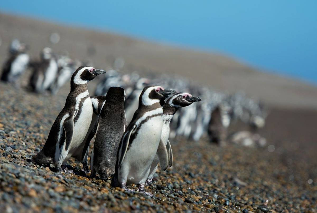 Magellanic Penguins, Peninsula Valdes, Argentina shutterstock_1153294396.jpg