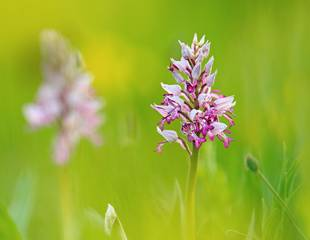 Orchids and other Wildlife of the Chilterns