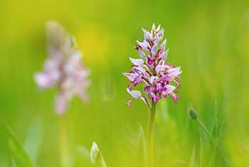 Military Orchid Shutterstock 1106527766