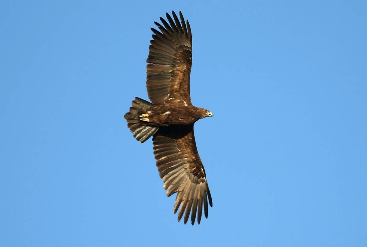 Greater Spotted Eagle Shutterstock 1184225620