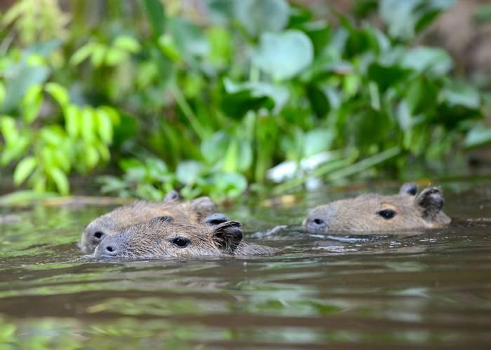 Capybara (Stephen Woodham)