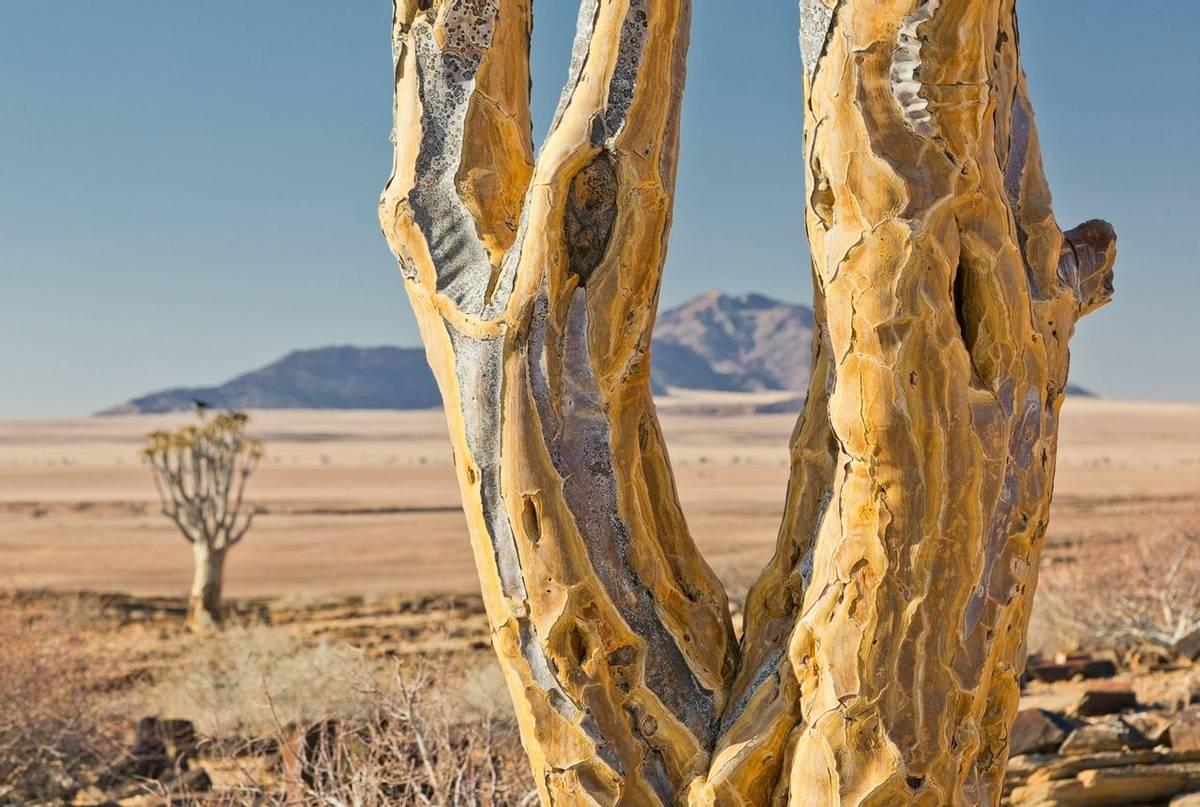 quiver tree (Simon Shore)