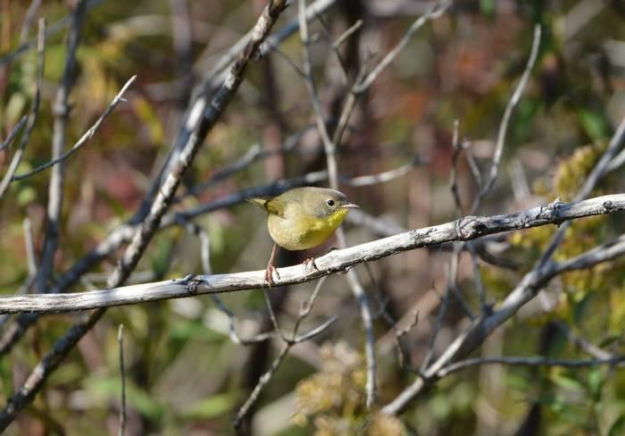 Common Yellowthroat (autumn plumage), USAshutterstock_1532787344.jpg