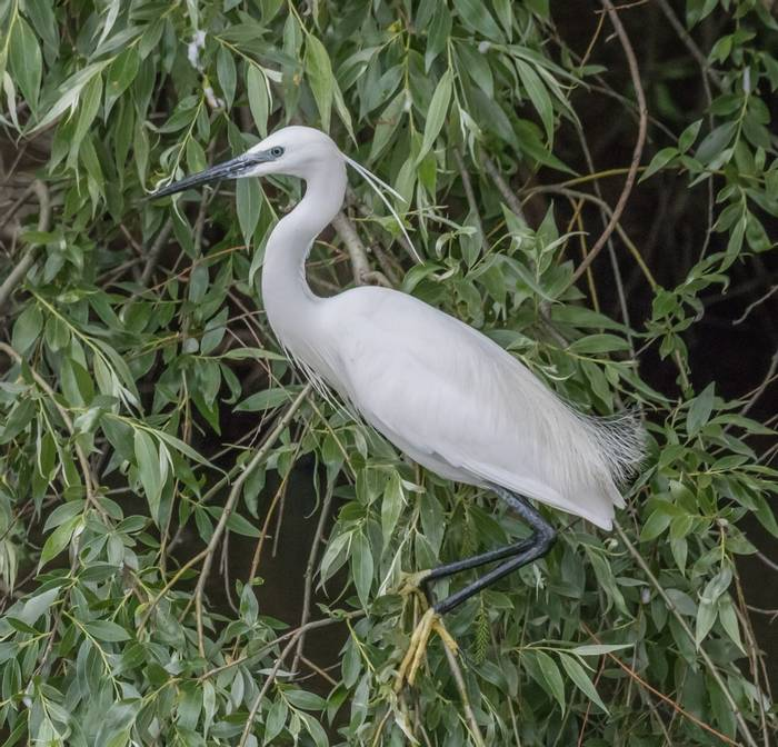 Little Egret (Judith Rolfe)