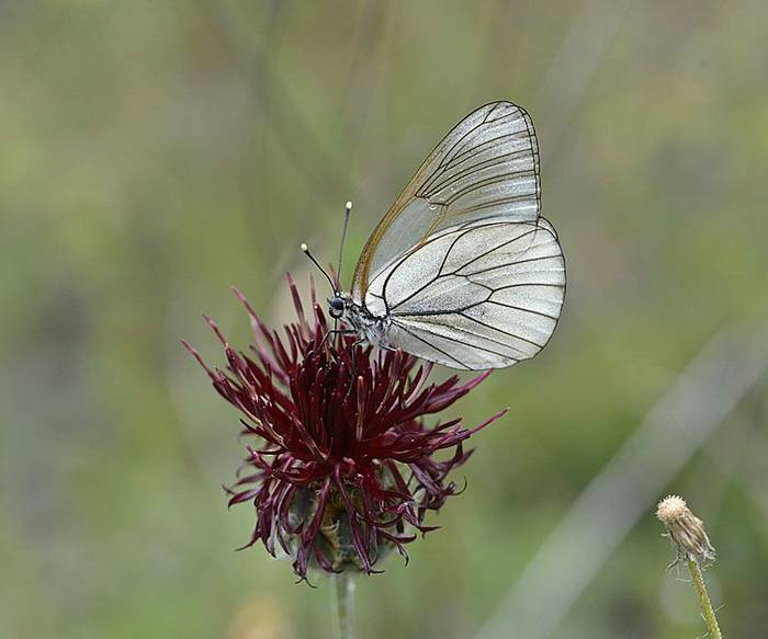 Black-veined White on Cenaurea emmanuelis-lowei (Balkan endemic flower), Andrew Cleave
