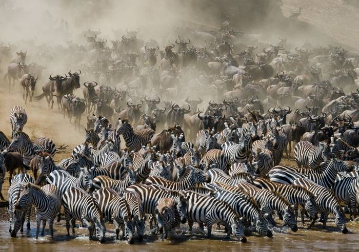 Blue Wildebeest Migration Shutterstock 399833203
