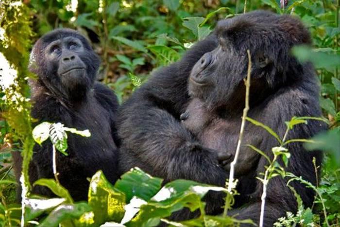 Adult and immature Gorilla, Bwindi (Ian and Kate Bruce)