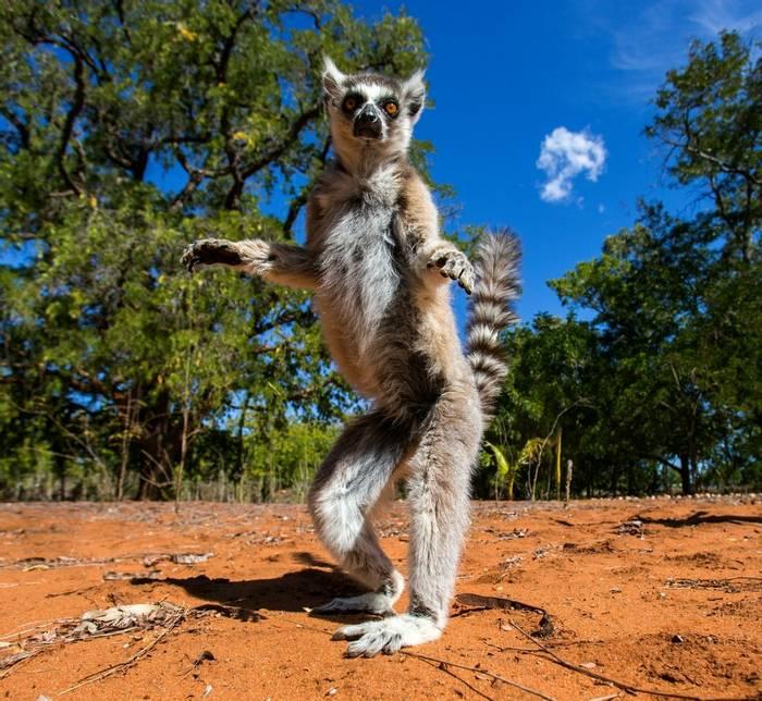 Ring Tailed Lemur (Gudkov Andrey)