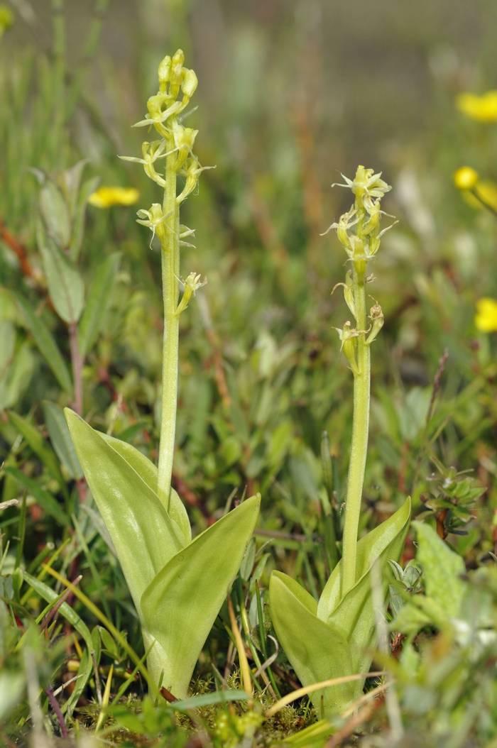 Fen Orchid shutterstock_176466008.jpg