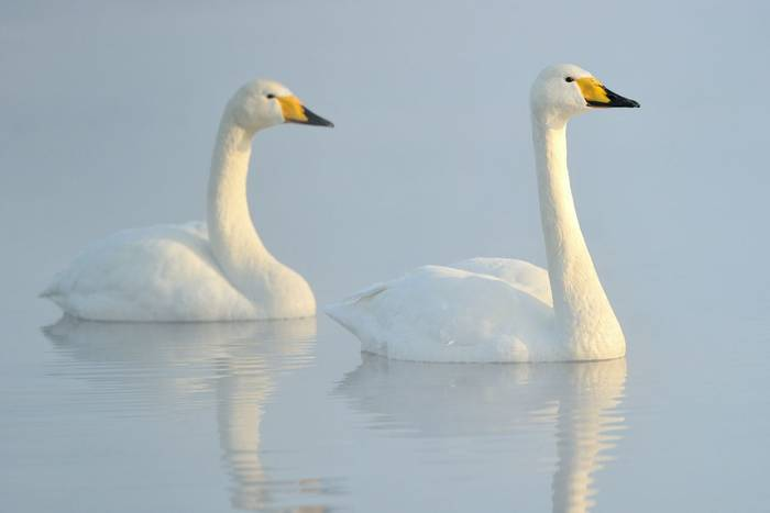 Whooper-Swans-shutterstock_128515649.jpg
